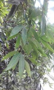 suribio-hojas-muy-cerca