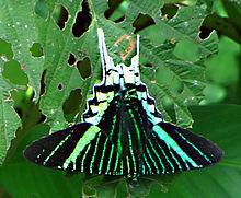 220px-green-banded_urania_tambopata_park_peru-wikipedia